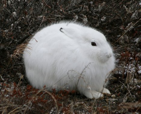 White Metal HARE Year 2011. HARE correlates to PISCES.