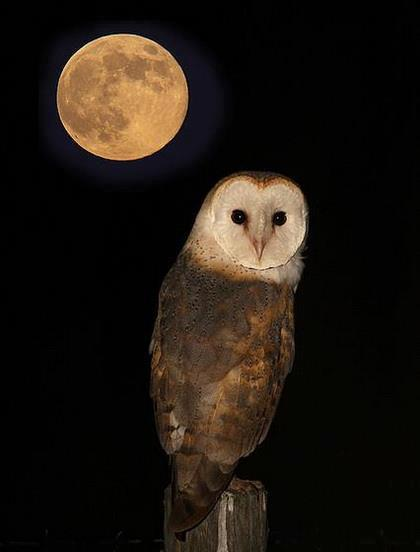 full Moon owl