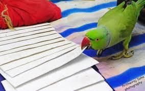Parrot selects a tarot card!